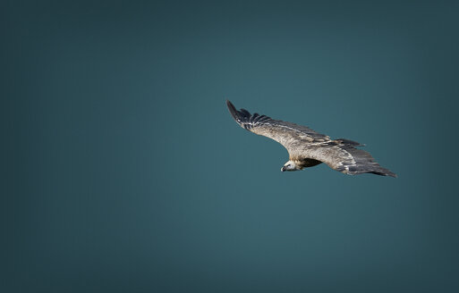 Bird flying against clear blue sky during sunny day - CAVF49605