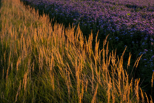 Germany, flowering scorpionweed in summer, wind park at sunset - HAMF00476