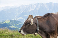 Cow with cow bell - HAMF00522
