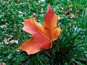 Autumnal maple leaf on grass - JTF01104