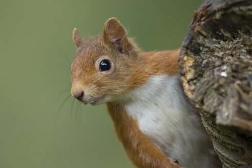 Portrait of red squirrel - MJOF01582