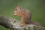 Portrait of eating red squirrel on tree trunk - MJOF01591