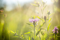Summer meadow at evening twilight - SARF03957