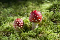 Two flying agarics in forest - CRF02805