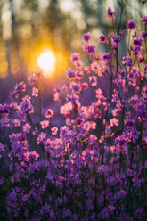 Pink wildflowers at sunset - VPIF00919