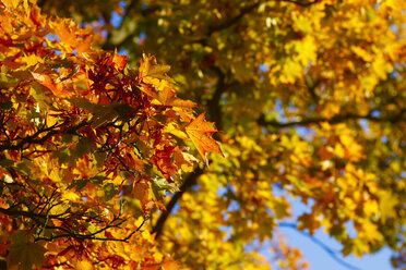 Germany, maple leaves in autumn - JTF01108