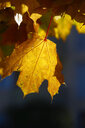 Germany, marple leaves in autumn - JTF01113