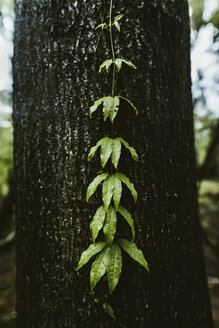 Wet creeper plant growing on tree trunk at forest - CAVF50038