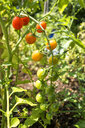 Organic tomatoes in allotment garden - NDF00804