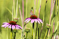 Botanic Garden, Butterfly on purple coneflower - NDF00810