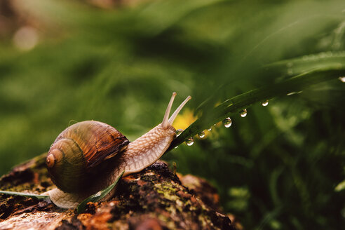 Close-up of snail on wet leaf during rainy season - CAVF50489
