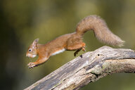 Jumping red squirrel carrrying nut in mouth - MJOF01598