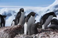 Penguins on rocks against sky during winter - CAVF51123