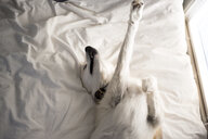 High angle view of dog stretching on bed at home - CAVF51316