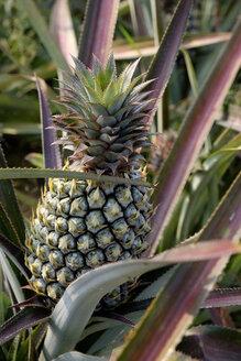 Thailand, ananas, plantation - HLF01134