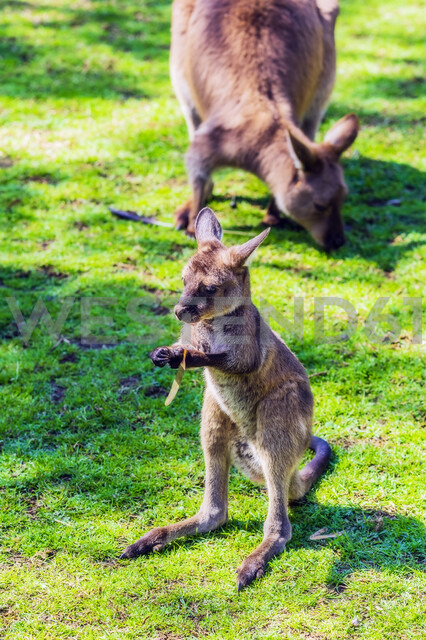 Australia, young kangaroo, mother animal in the background - THAF02306 - Thomas Haupt/Westend61