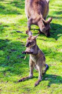 Australia, young kangaroo, mother animal in the background - THAF02306