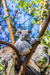 Australia, Korala, Phascolarctos cinereus, sitting in a tree - THAF02309