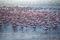 Flamingos - INGF03477