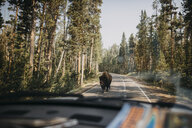 American bison on road seen through car's windshield at Yellowstone National Park - CAVF51976