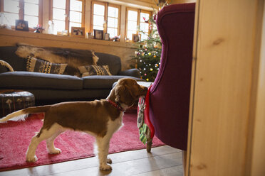 Cute dog with stocking in Christmas living room - HOXF03952