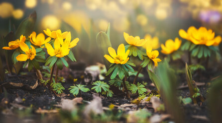 Yellow flowers out in nature - INGF05192