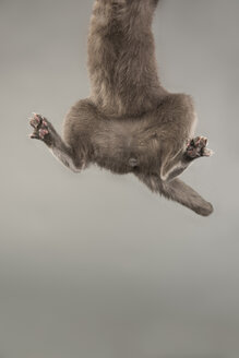 Low section of Russian Blue Cat jumping against gray background - TGBF00519