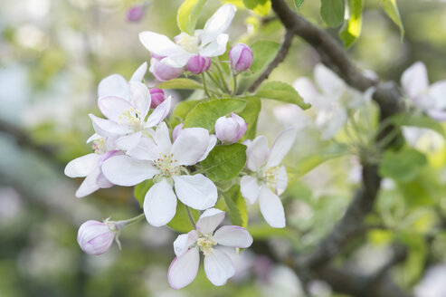 Apple tree, Apple blossoms - CRF02808