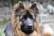 Close-up of German Shepherd looking away during winter - CAVF52493