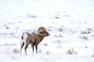 Bighorn sheep standing on snow covered landscape - TGBF01260