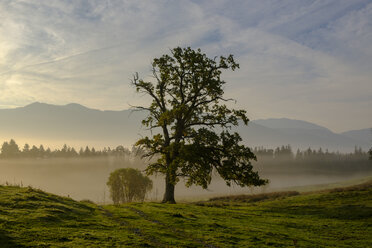 Germany, Nantesbuch, oak tree at morning mist - LBF02161