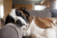 Dog lying on couch in living room at home - CAVF52694