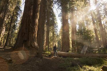 USA, California, Sequoia National Park, Sequoia tree and man, sun light - FCF01530