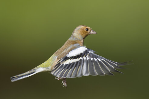 Male Chaffinch, Fringilla coelebs, flying - MJOF01608