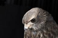 Portrait of a pale chanting goshawk (Melierax canorus) against black background - MINF09274
