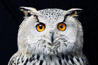 Portrait of Siberian eagle owl (Bubo bubo sibiricus) looking at camera against black background - MINF09277