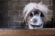 Close up of a Shetland pony's muzzle on the top of a stable door, with a white mane over it's eyes. - MINF09376