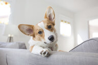 Low angle portrait of dog relaxing on sofa at home - CAVF53346