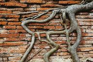 Thailand, Ayutthaya, Roots climbing through a brick wall at Wat Mahathat - GEMF02468