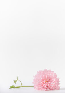 Studio shot of pink flowers over a white background - INGF06448