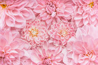 Beautiful pastel pink flowers - INGF06451