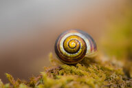 Nature shot of a spiral shaped snail shell - INGF06904