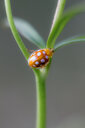 Close-up nature shot of a ladybug climbing up a green plant - INGF07119