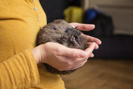 Woman's hands holding rolled up hedgehog - MAMF00219