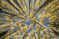 Directly below shot of aspen trees growing against sky in forest - CAVF54119