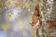 Portrait of Eurasian red squirrel climbing on tree in autumn - MJOF01612