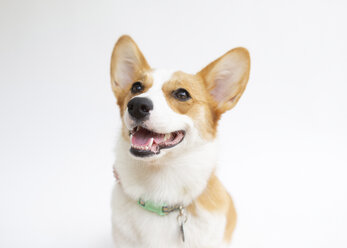 Close-up of corgi with mouth open looking away against white background - CAVF54633