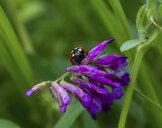 Close-up of ladybug on flowers - CAVF54657