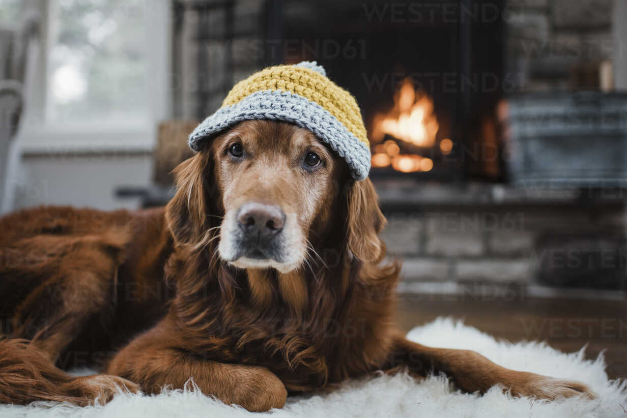 Close-up of golden retriever with knit hat lying relaxing on rug - CAVF54936 - Cavan Images/Westend61