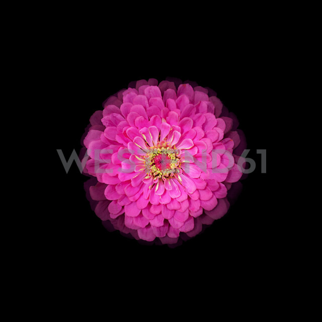Close-up studio shot of a pink flower against a black background - INGF07573